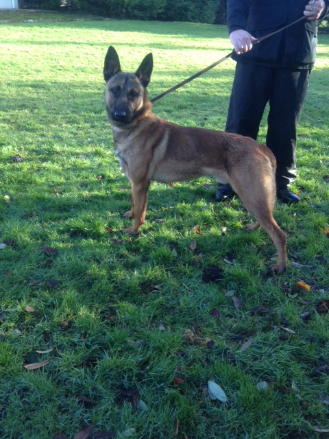 NI K9 Trained Security Dog Available For Sale